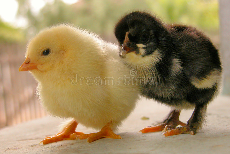 Young chicken stock photography