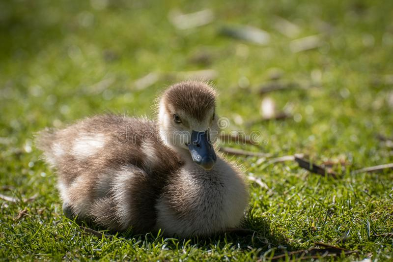 Young chicken of egyptian goose stock photography