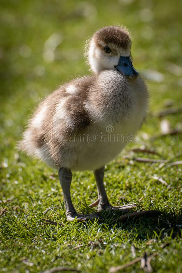 Young chicken of egyptian goose. On grass in a daylight royalty free stock photography