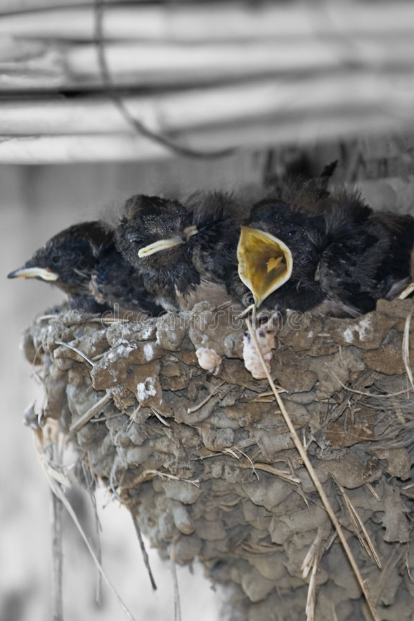 Young chicks in nest royalty free stock photos