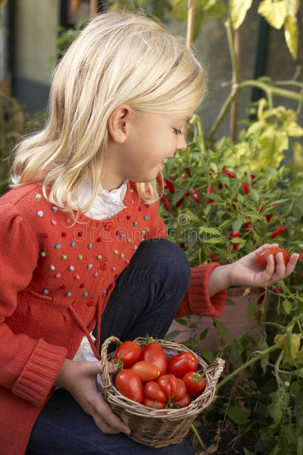 Download Young Child Harvesting Tomatoes Stock Photo - Image of view, young: 17486168