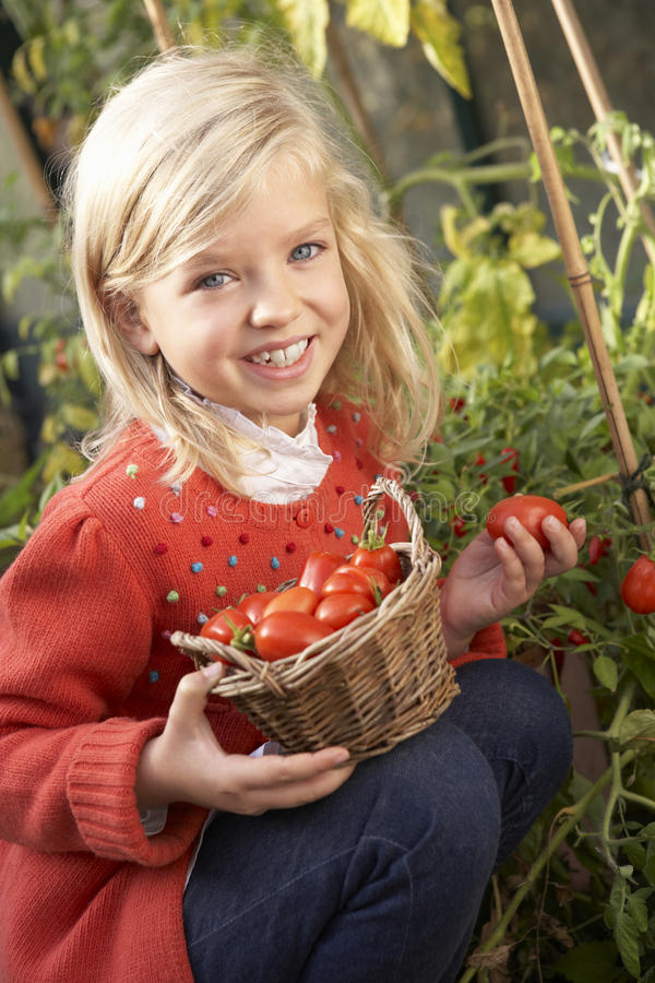 Young child harvesting tomatoes royalty free stock photography