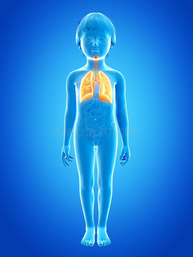 Young child - lung. Anatomy of a young child - lung vector illustration