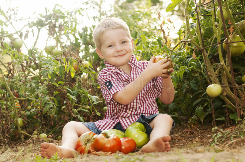 Young child picking tomato in home garden royalty free stock photo