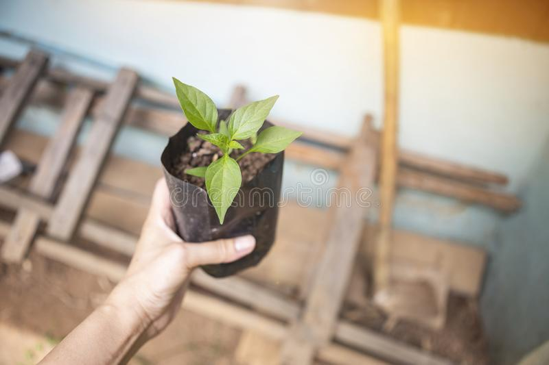 Young chili plant in girl hand over blurred wooden pile and hoe royalty free stock images