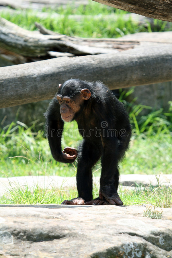 Young chimpanzee. Monkey on a rock stock photos