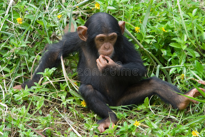 Young chimpanzee. A young chimpanzee is thinking royalty free stock photography
