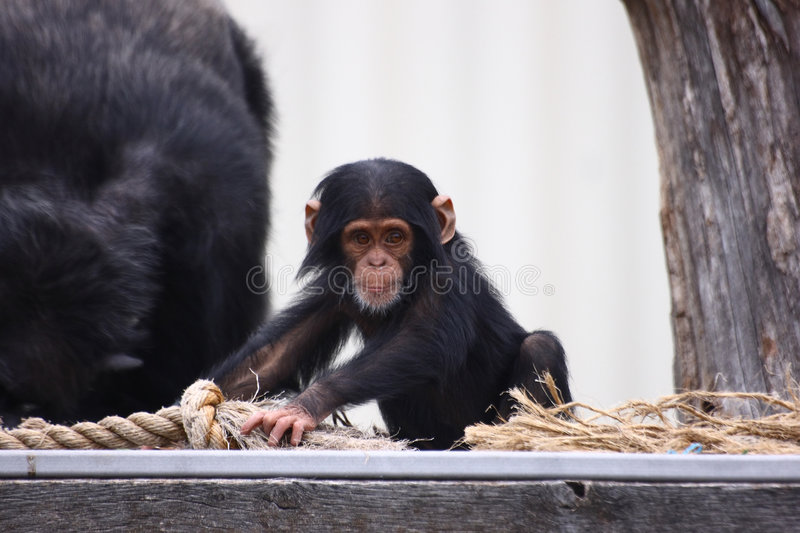 Young Chimpanzee. A baby chimpanzee playing with a rope as the father chimp sleeps nearby. Photo taken at the Sunset Zoo in Manhattan Kansas royalty free stock photos