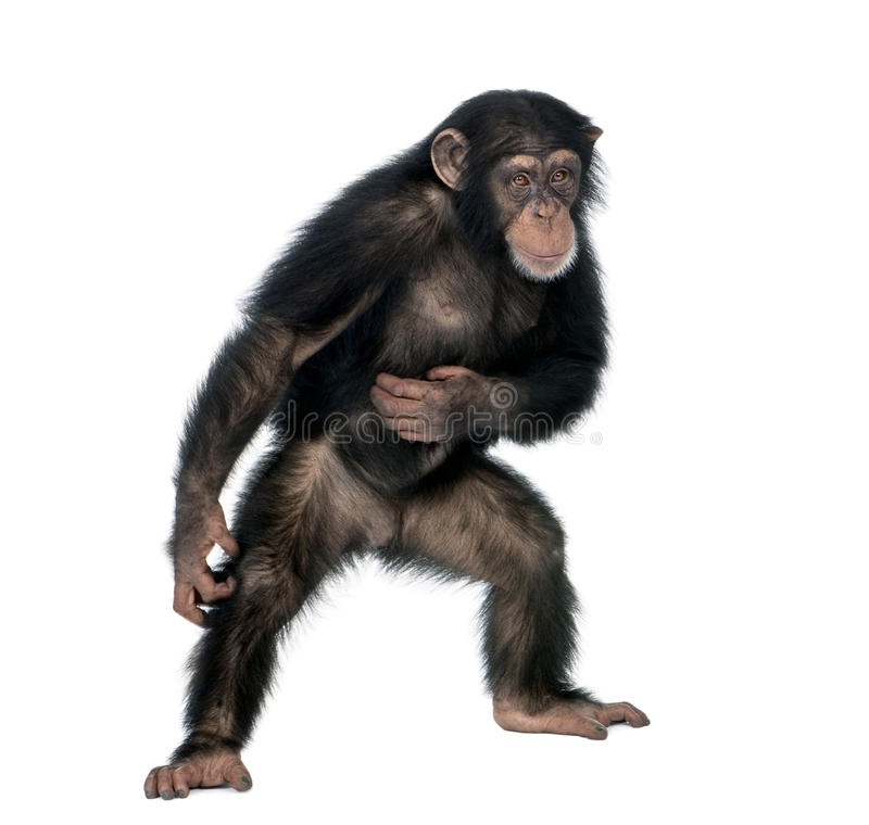 Young chimpanzee against white background. Young chimpanzee, Simia Troglodytes, 5 years old, standing in front of white background, studio shot stock photography
