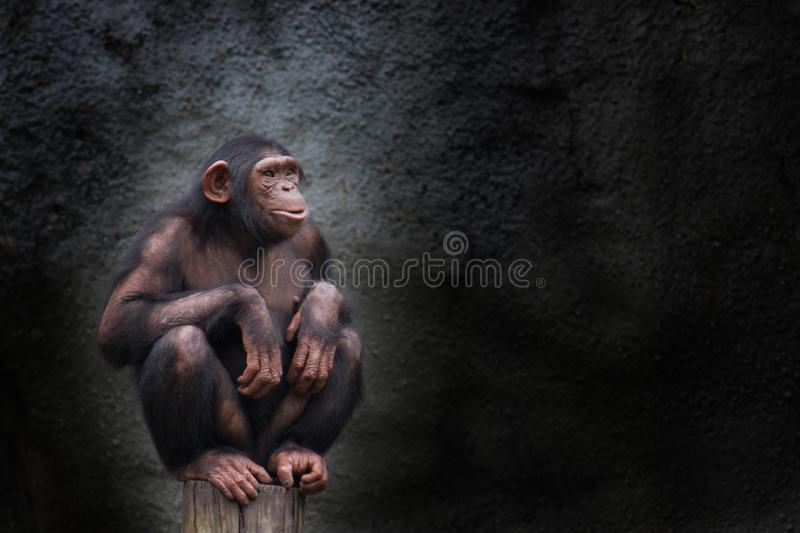 Young chimpanzee alone portrait, sitting crouching on piece of wood. With crossed legs and staring at the horizon in pensive manner against a dark background stock photography