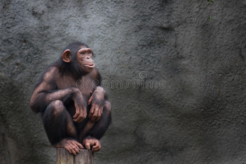 Chimp or chimpanzee. Young chimpanzee alone portrait, sitting crouching on a piece of wood. Young chimpanzee alone portrait, sitting crouching on a piece of wood stock photos