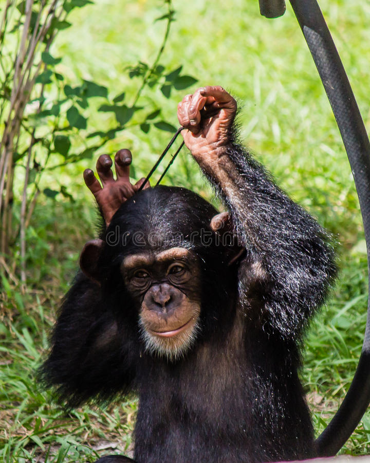 Young chimpanzee. With a black hair elastic stock images