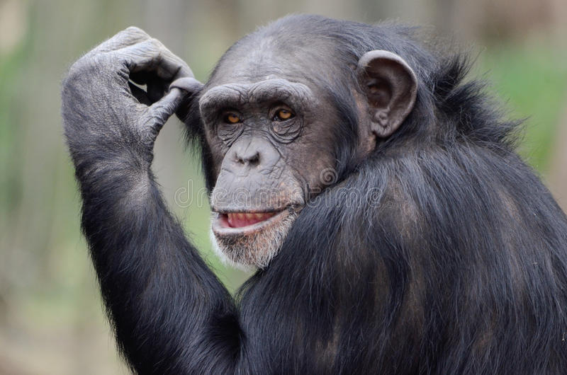 Young chimpanzee. A close up of a young chimpanzee royalty free stock images