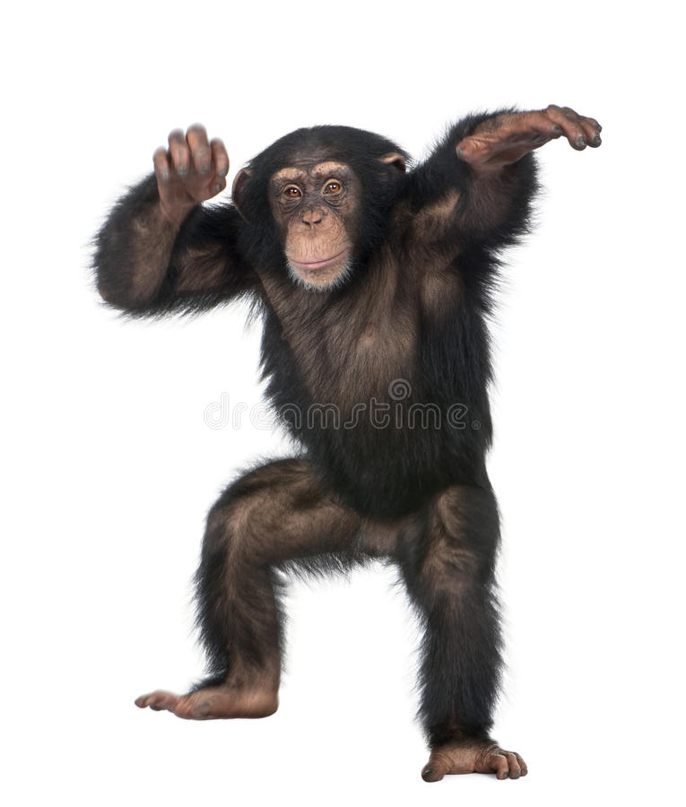 Young Chimpanzee dancing. Simia troglodytes (5 years old) in front of a white background royalty free stock image