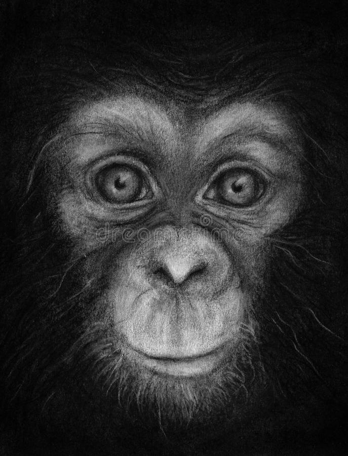 Young Chimpanzee Face Sketch. A hand drawn sketch of a young chimpanzee's face in black and white royalty free stock image