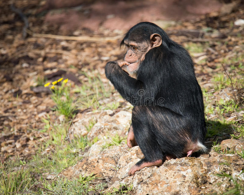 Young Chimpanzee with Flower. Zuri, a young common chimpanzee (Pan troglodytes) who lives at Monarto Zoo near Adelaide, South Australia. Monarto is the largest stock image