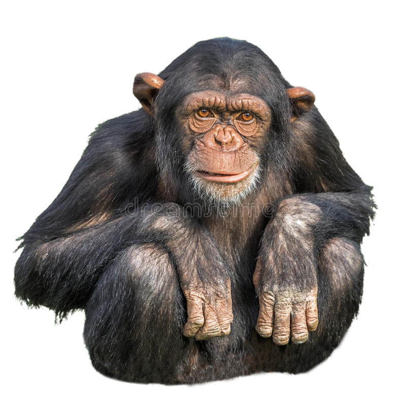 Young chimpanzee isolated on white. A young chimpanzee sitting isolated on white background stock photos