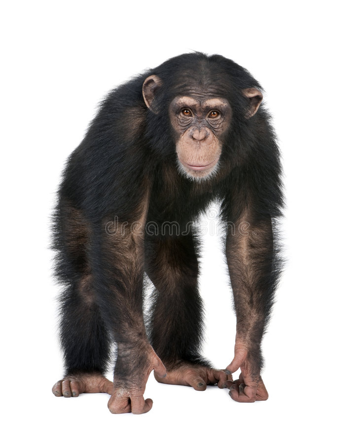 Young Chimpanzee looking at the camera - Simia tro. Glodytes (5 years old) in front of a white background stock photo