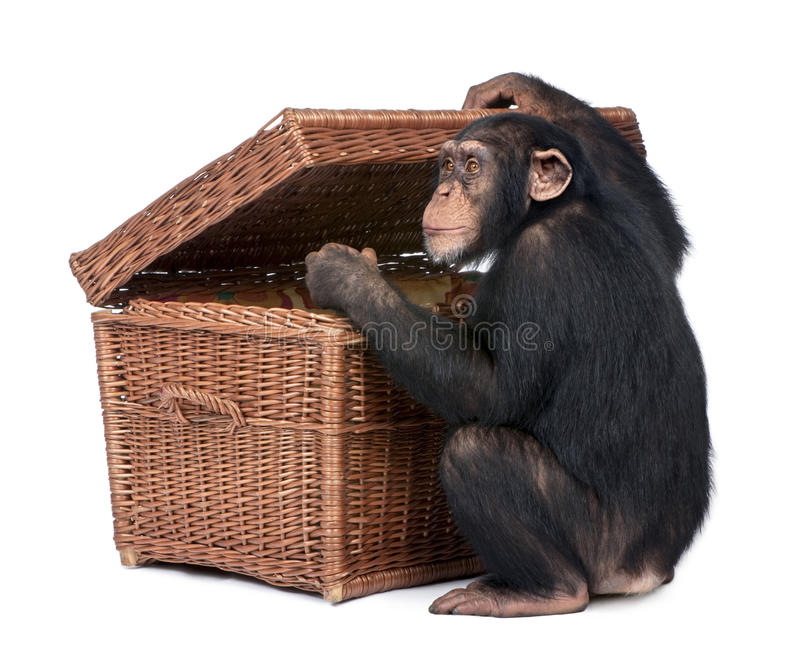Download Young Chimpanzee Looking Into A Chest Stock Image - Image: 10350651