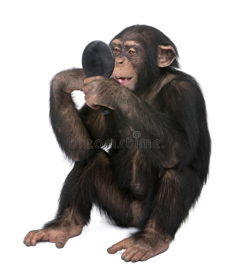 Download Young Chimpanzee Looking Himself At The Mirror - S Stock Image - Image of gazing, chimpanzee: 9772849