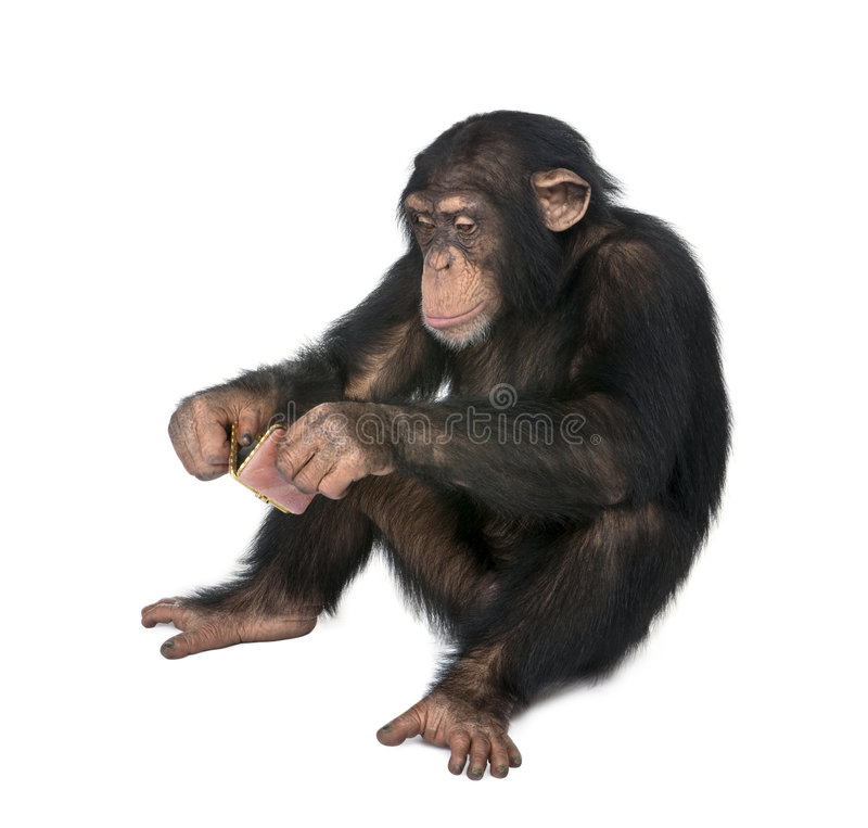 Young Chimpanzee looking himself at the pocket mir. Ror in front of a white background stock image