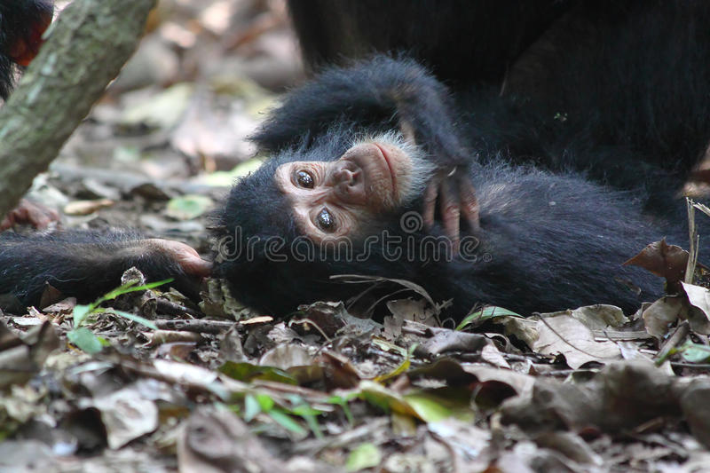 Young chimpanzee lying. Young chimpanzee (Pan troglodytes) lying on the ground in Gombe Stream National Park, Tanzania stock photo