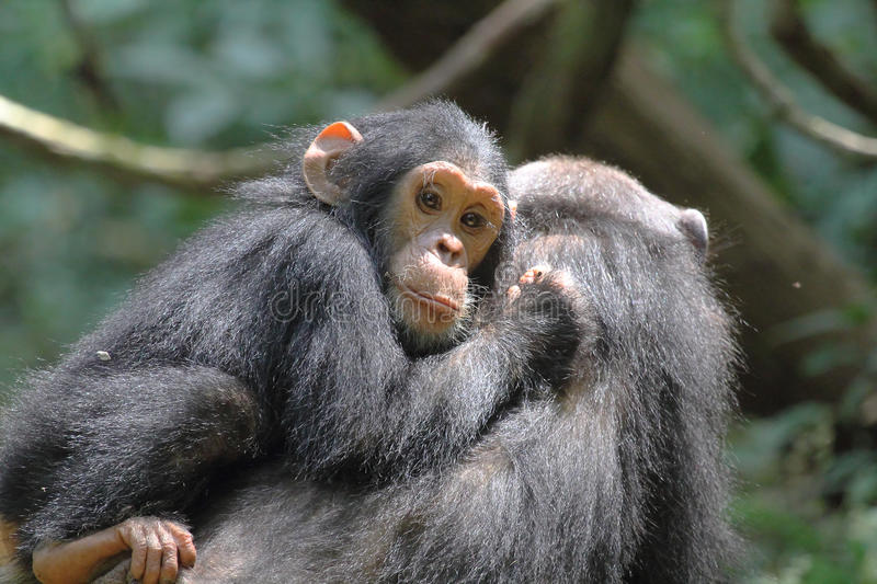 Young chimpanzee on the mother. Young chimpanzee (Pan troglodytes) on the back of his mother in Gombe Stream National Park, Tanzania stock photo