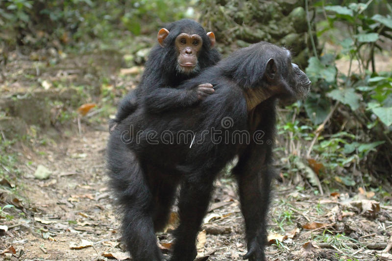Young chimpanzee on the mother. Young chimpanzee (Pan troglodytes) on the back of his mother in Gombe Stream National Park, Tanzania royalty free stock photo