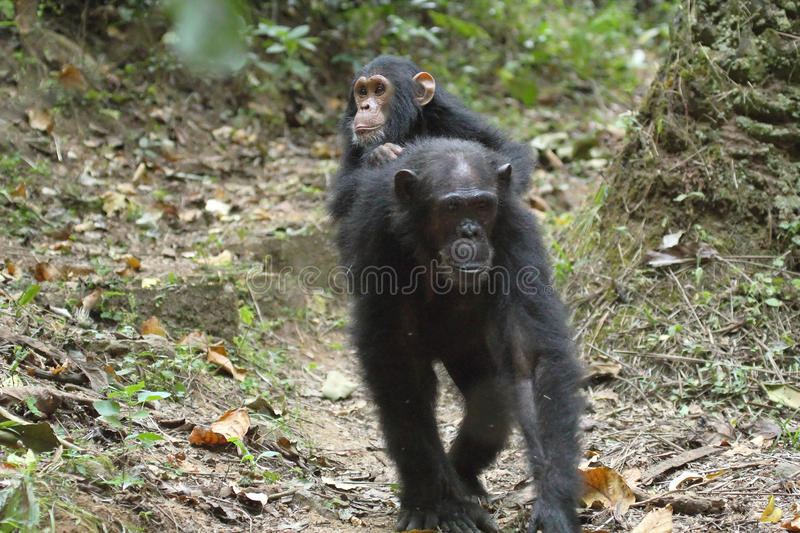 Young chimpanzee on the mother. Young chimpanzee (Pan troglodytes) on the back of his mother in Gombe Stream National Park, Tanzania royalty free stock image
