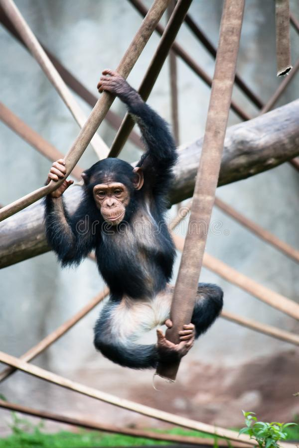 Young chimpanzee Pan troglodytes jumping and playing with ropes. While balancing up in the air in a Zoo royalty free stock photos