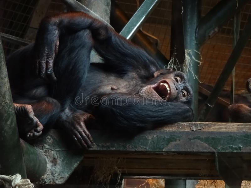 Young Chimpanzee. This picture shows a young chimpanzee at the zoo who was caught mid yawn which looks like he is also laughing royalty free stock photo