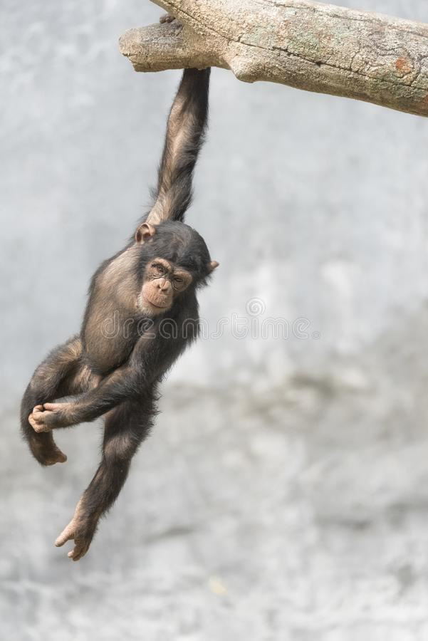 Young Chimpanzee playfully hanging on a tree branch. By one hand royalty free stock image