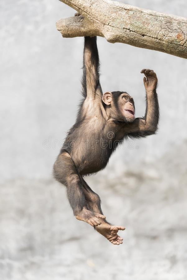 Young Chimpanzee playfully hanging on a tree branch. By one hand stock images