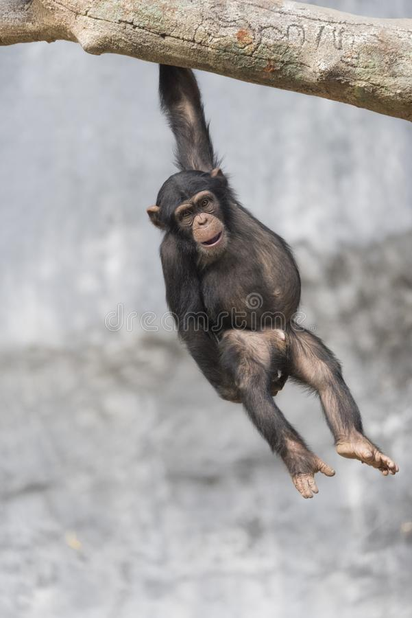 Young Chimpanzee playfully hanging on a tree branch. By one hand royalty free stock photo