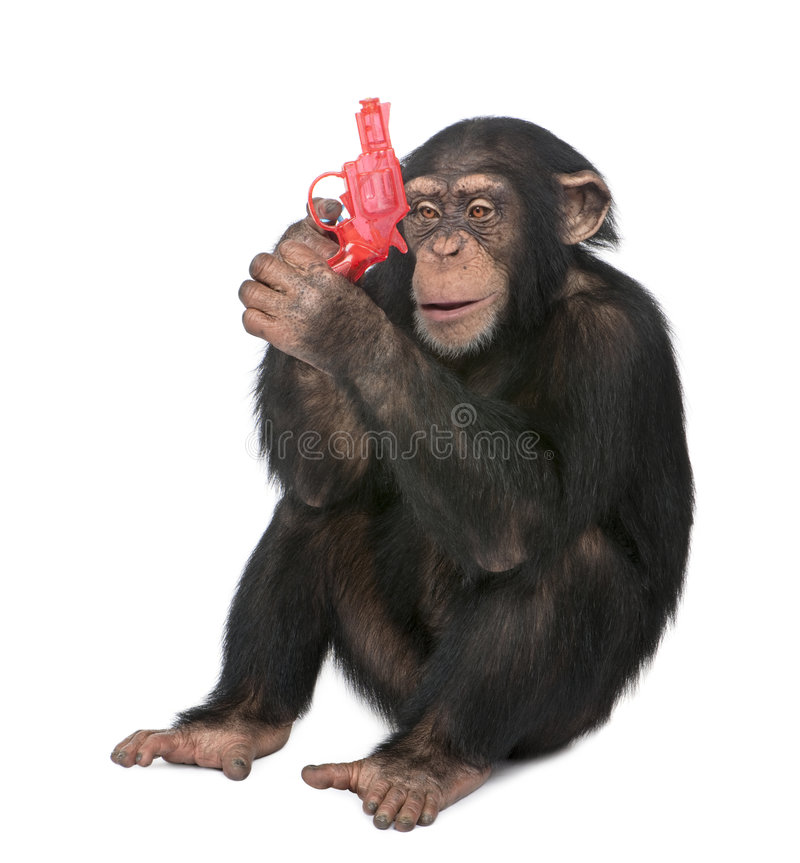 Download Young Chimpanzee Playing With A Gun (5 Years Old) Stock Image - Image: 9333095