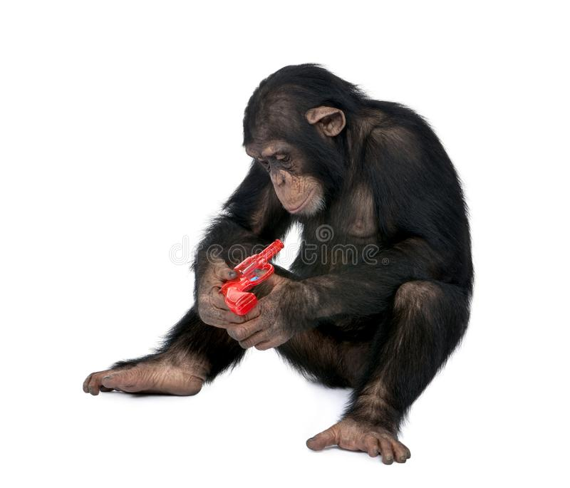Young Chimpanzee playing with red gun, simia troglodytes. Young Chimpanzee playing with red gun in front of white background, simia troglodytes, 5 years old royalty free stock photos