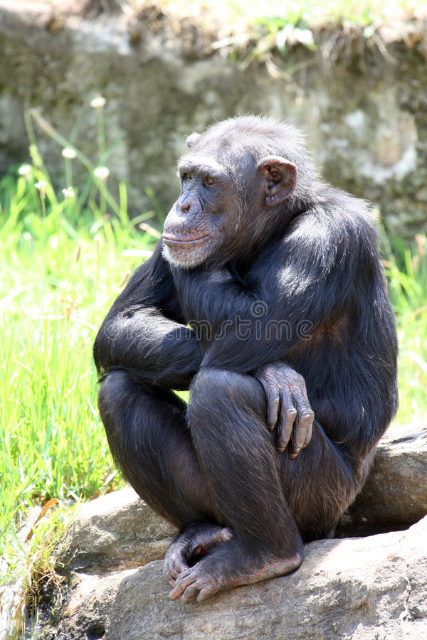 Young chimpanzee seated. On a rock stock photo