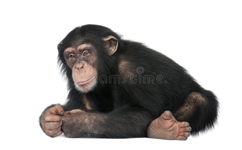 Young Chimpanzee - Simia troglodytes (5 years old). In front of a white background stock photo