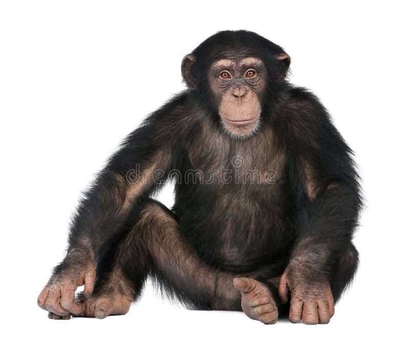 Young Chimpanzee - Simia troglodytes (5 years old). In front of a white background royalty free stock photography