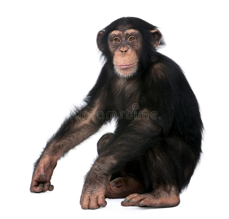 Young Chimpanzee, Simia troglodytes, 5 years old. Sitting in front of white background stock images