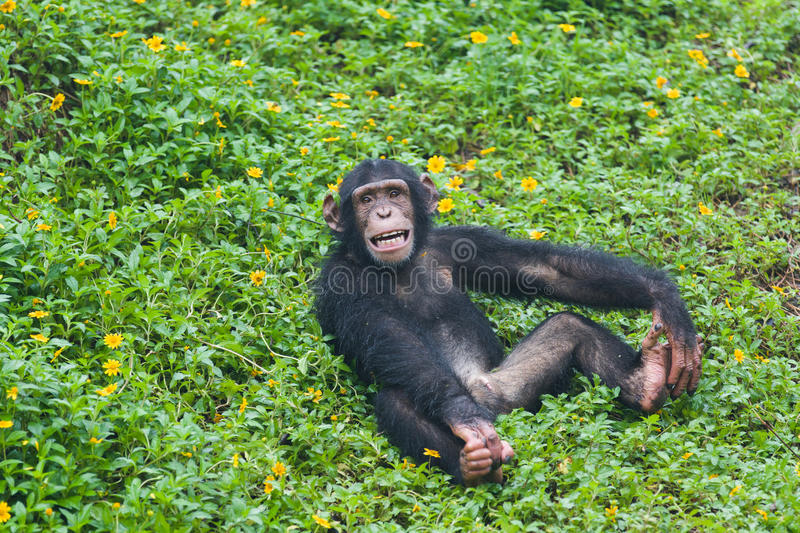 Young Chimpanzee. A young chimpanzee sitting on ground stock photos