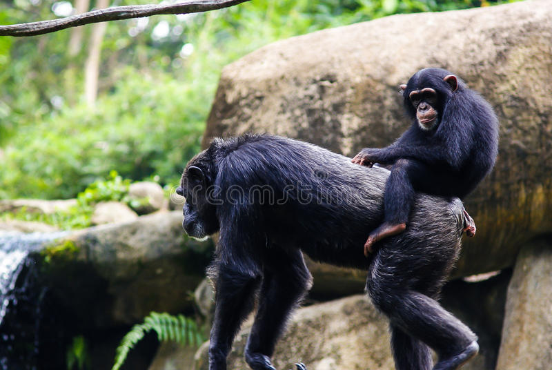 Young chimpanzee sitting on mother's back. Singapore Zoo. Young chimpanzee sitting on mother's back royalty free stock photography