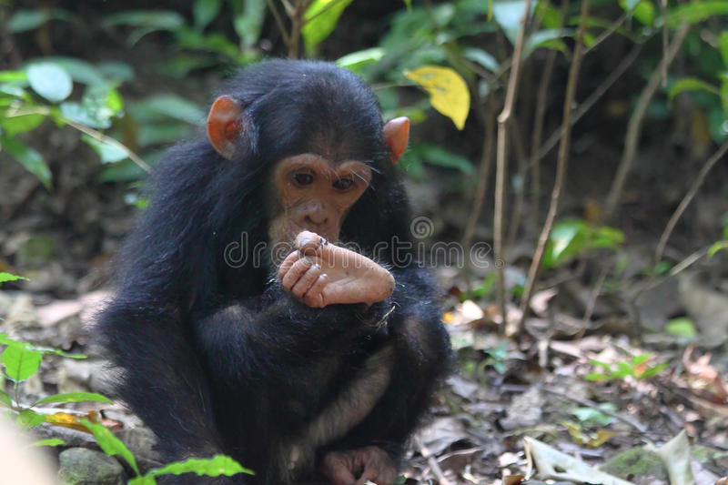 Young chimpanzee sitting. Young chimpanzee (Pan troglodytes) sitting and playing with a foot in Gombe Stream National Park, Tanzania stock photo