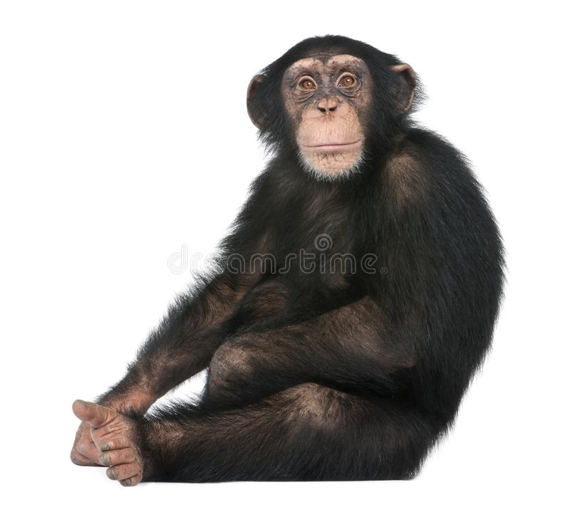 Young Chimpanzee sitting - Simia troglodytes 5 years old. In front of a white background stock image