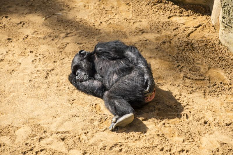Young Chimpanzee Sleeping on the ground. In the zoo royalty free stock photography