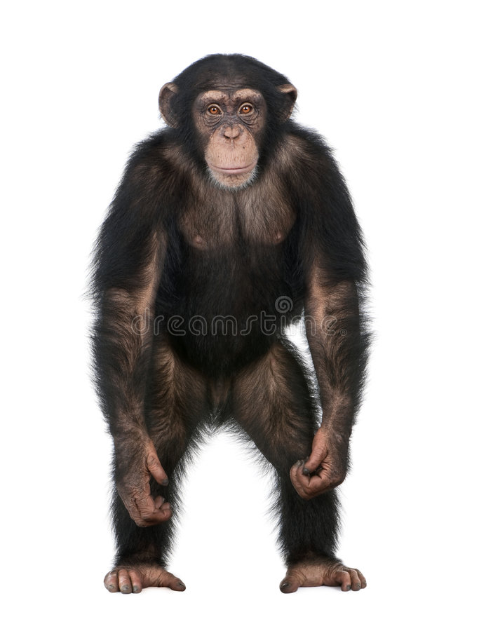 Young Chimpanzee standing up like a human - Simia. Troglodytes (5 years old) in front of a white background royalty free stock image