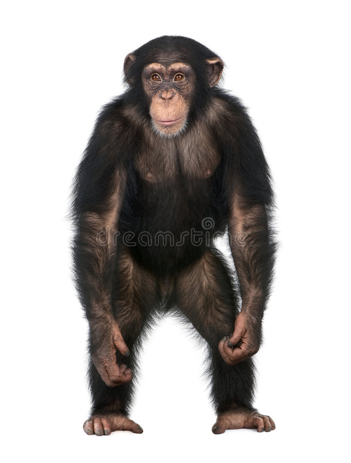 Young Chimpanzee standing up like a human - Simia. Troglodytes (5 years old) in front of a white background royalty free stock images