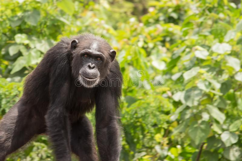 Young Chimpanzee. A young chimpanzee stands on Monkey Island in Liberia royalty free stock photos