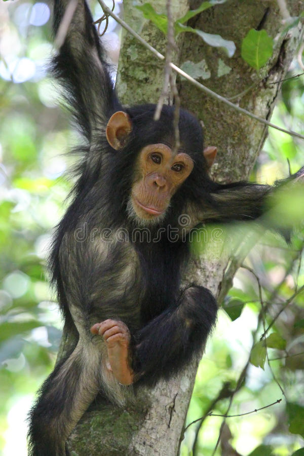 Young chimpanzee on a tree. Young chimpanzee (Pan troglodytes) clinging to a tree in Gombe Stream National Park, Tanzania stock images