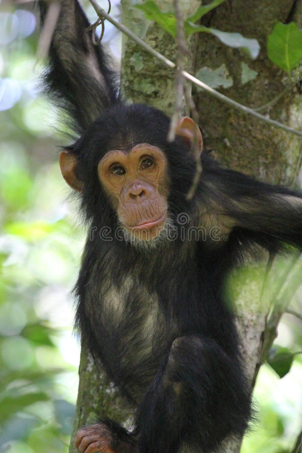 Young chimpanzee on a tree. Young chimpanzee (Pan troglodytes) clinging to a tree in Gombe Stream National Park, Tanzania stock photo
